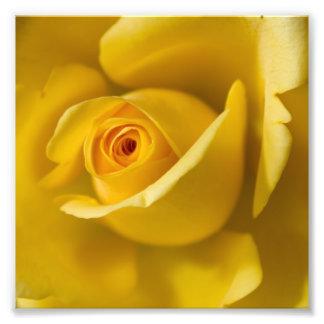 Rosa amarillo macro fotografía