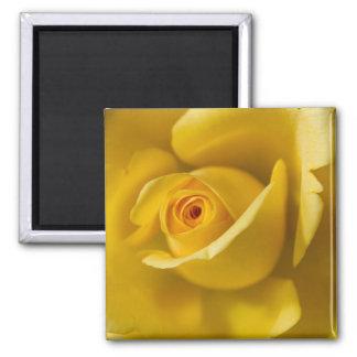 Rosa amarillo macro imán cuadrado