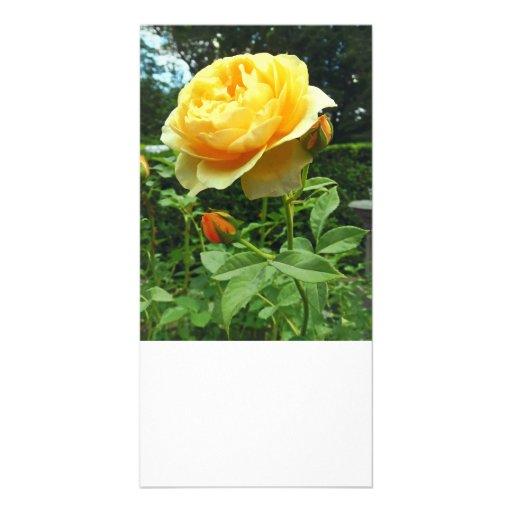 Rosa amarillo y brotes tarjeta fotográfica