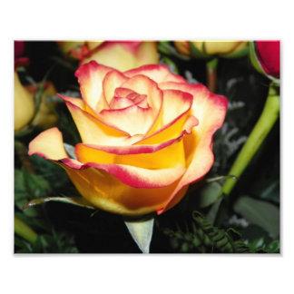 Rosa amarillo y rojo fotografías