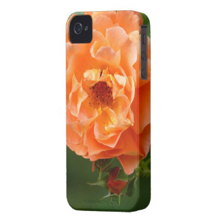 rosa anaranjada de mata con brotos, iPhone 4 funda