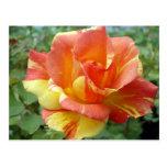 Rosa anaranjado y amarillo 1 postales