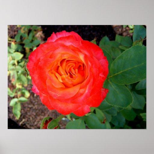 Rosa atómico - color de rosa póster