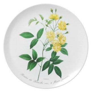 Rosa banksii (syn.R banksiae) Dinner Plate