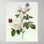 Rosa: Bengale el Hymenes, de los 'rosas de Les Póster