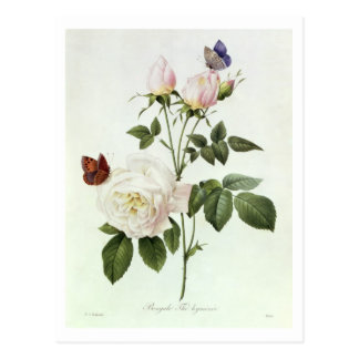 Rosa Bengale the Hymenes from Les Roses Postcard