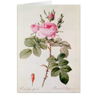 Rosa Bifera Officinalis, from 'Les Roses' Card