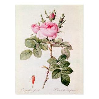 Rosa Bifera Officinalis, from 'Les Roses' Postcard