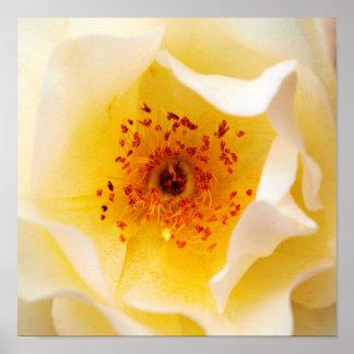 Rosa Blanca Póster