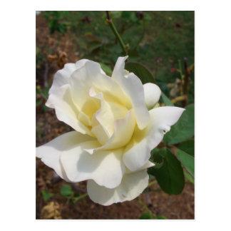 Rosa blanco aerodinámico - productos del arte de tarjeta postal
