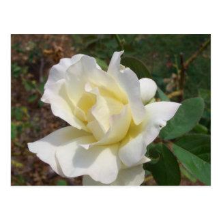 Rosa blanco aerodinámico - productos del arte de postal