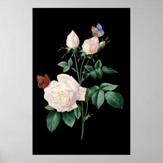 Rosa blanco con el fondo del negro de la mariposa póster