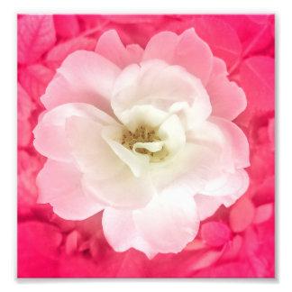 Rosa blanco con las hojas del rosa alrededor de la fotografía