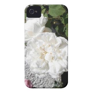 Rosa blanco contra una pared rayada del guijarro iPhone 4 cárcasas