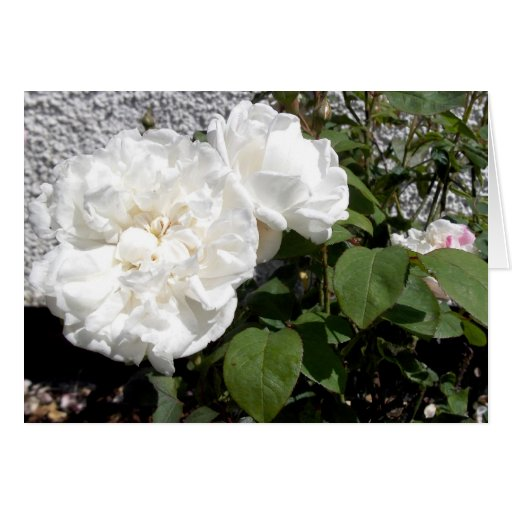 Rosa blanco contra una pared rayada del guijarro felicitaciones