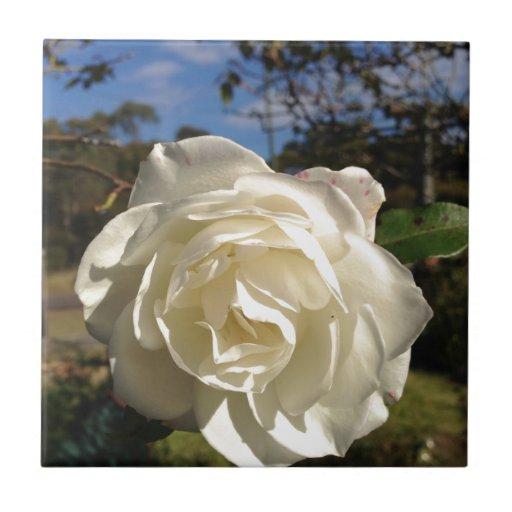 Rosa blanco en la plena floración azulejo cuadrado pequeño