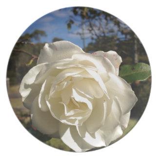 Rosa blanco en la plena floración platos
