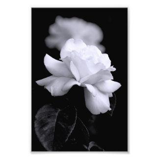 Rosa blanco fotografías