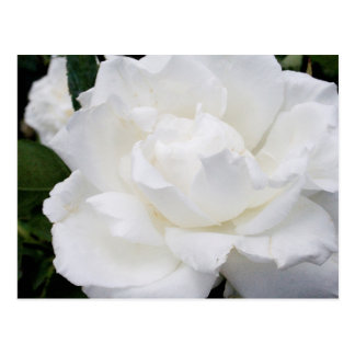 Rosa blanco hermoso postal