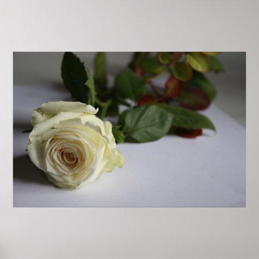Rosa blanco impresiones