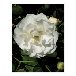 Rosa blanco inocente tarjetas postales