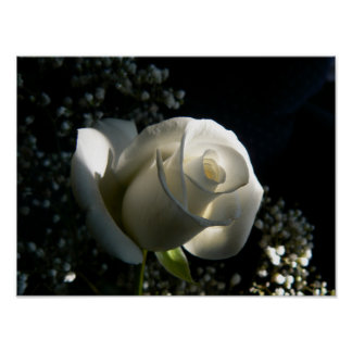 Rosa blanco póster