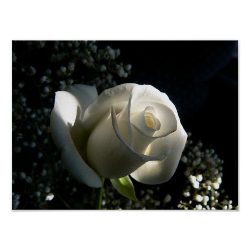 Rosa blanco poster