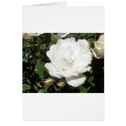 Rosa blanco tarjeta de felicitación