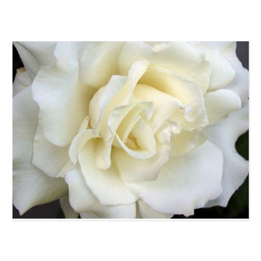 Rosa blanco tarjeta postal