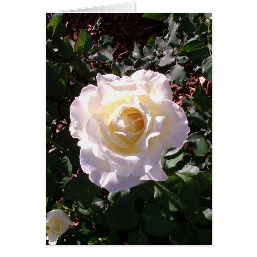 Rosa blanco y fotografía color de rosa del brote tarjeta