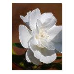 Rosa blanco y significado postal