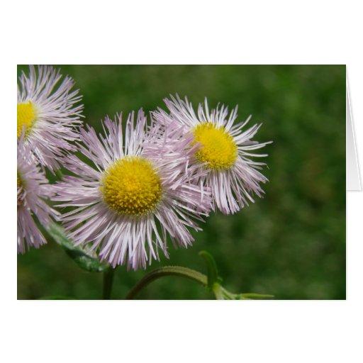Rosa bonito Margarita-Como las flores Felicitaciones