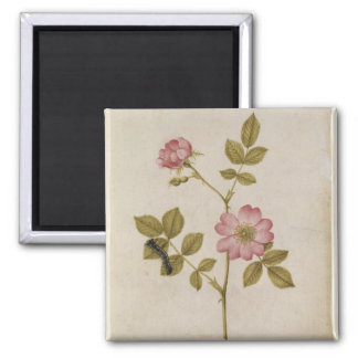 Rosa Canina - Dogrose and Caterpillar (pencil & w/ 2 Inch Square Magnet