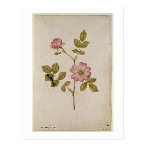 Rosa Canina - Dogrose and Caterpillar (pencil & w/ Postcard
