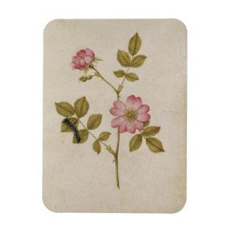 Rosa Canina - Dogrose and Caterpillar (pencil & w/ Rectangular Photo Magnet