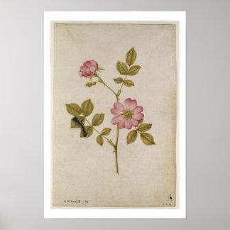 Rosa Canina - Dogrose y Caterpillar (lápiz y con Impresiones