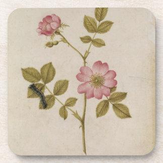 Rosa Canina - Dogrose y Caterpillar (lápiz y con Posavaso
