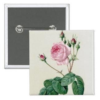 Rosa Centifolia Bullata Button