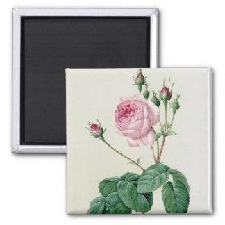Rosa Centifolia Bullata Magnet