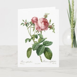 Rosa centifolia foliacea card