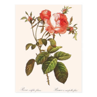 Rosa Centifolia Foliacea Postcard