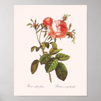 Rosa Centifolia Foliacea Póster