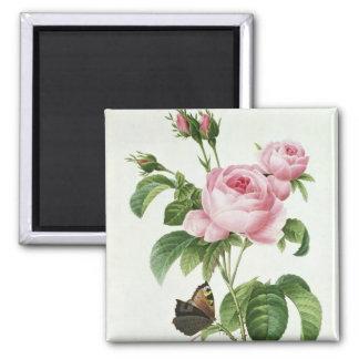Rosa Centifolia Magnet