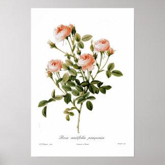Rosa centifolia pomponia posters