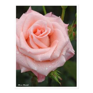 Rosa Cherish: Postcard