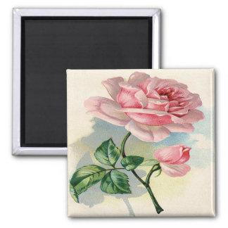 Rosa color de rosa de la belleza, cuadrado gris imán cuadrado