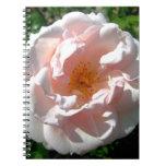 Rosa color de rosa Sun