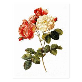 Rosa damascena celsiana postcard