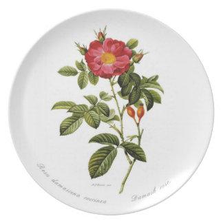 Rosa damascena coccinea dinner plate