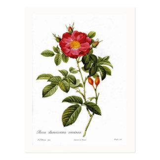 Rosa damascena coccinea postcard